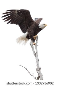 Wings up with its talons hooked, a bald eagle balances itself on top of a birch tree. White background