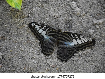 Wings wide on a clipper butterfly sitting in the sand.