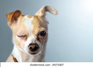 Winking Chihuahua on Blue Background