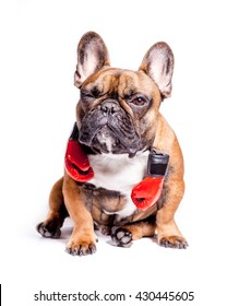 Winking funny french bulldog dog, sitting with red boxing gloves.