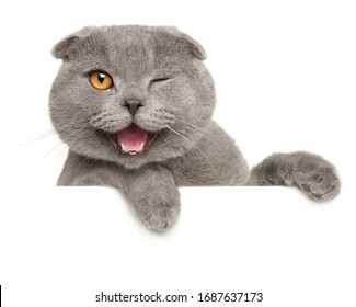 Winking grey cat above banner, isolated on white background