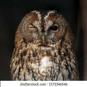 A Winking Tawny Owl. Close humorous frame of a tawny owl facing directly to the lens with one eye closed and one open making it look as if it is winking. Eyes sharp focus, varying focus on feathers