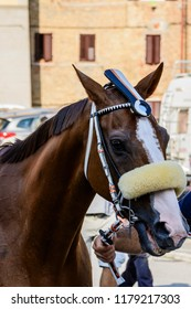 The winner horse of the Palio of Siena, the traditional horse race in Toscany