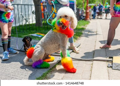 Winnipeg, Manitoba/Canada - June 2019: A poodle dyed with Pride flag colors relaxes after the Pride parade, as a Dachshund watches him in the background