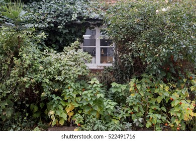 Winslow, Buckinghamshire, United Kingdom, October 25, 2016: Overgrown bushes in front of cottage window on the Walk street, Winslow.