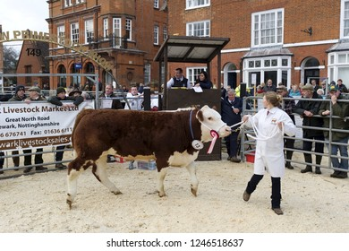 Winslow, UK - November 26, 2018. Cattle are sold by auction at the Winslow Primestock Show. The show is an annual event held in the historic market town in Buckinghamshire