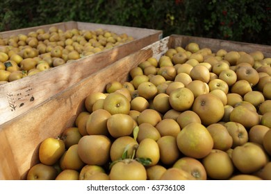 Winsor apples in crates