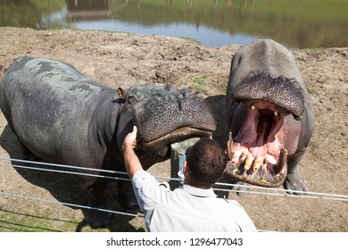 WINSTON, OREGON - April 16, 2014:  A Wildlife Safari employee interacts with a large hippopotamus by petting its face in Winston, OR on April 16, 2014.