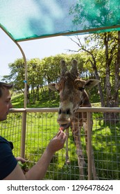 WINSTON, OREGON - April 16, 2014:  A man has a close encounter with a large adult giraffe reaching into a tour vehicle to get a snack in Winston, OR on April 16, 2014.