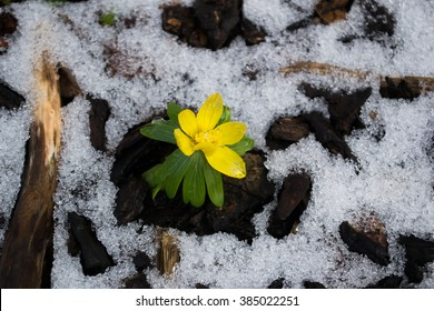 Winter aconite (Eranthis hyemalis) emerging in snow