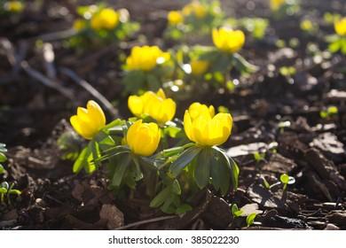 Winter aconite (Eranthis hyemalis) in sunshine