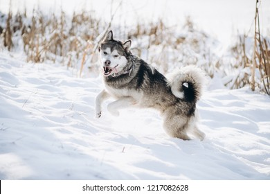 winter alaskan malamute dog