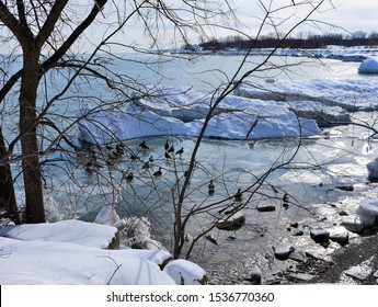 Winter along the shore of Lake Michigan looking through leafless tree branches on the ice and open water with gaggle of Canada Geese hunkered down in the frigid winter water.