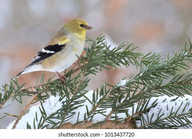 A winter American Goldfinch (Carduelis tristis) on a snowy spruce branch.
