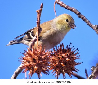 Winter American Goldfinch On Tree Branch Of Sweet Gum In Suburban New Jersey
