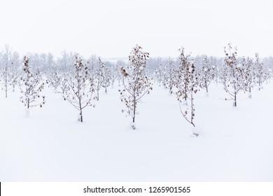 winter apple garden deadpan style with selective focus