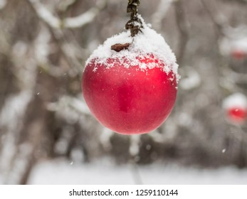 Winter apple with snow cover