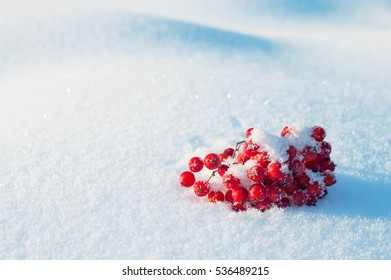 Winter background with bunch of red rowan in the snow