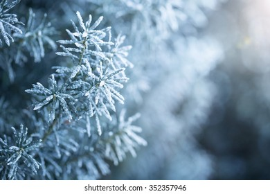 Winter background, close up of frosted pine branch with copy space