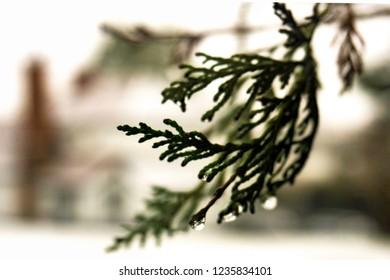 Winter background conifer