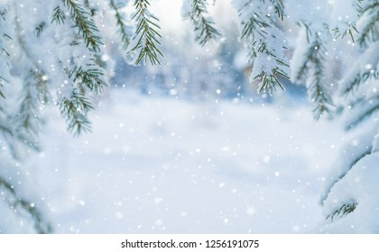 Winter background. Background for design with snow-covered branches of a Christmas tree.