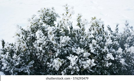 Winter background with frosty boxwood. Evergreen bushes of boxwood under snow on the snowy background. Plant at frosty day.