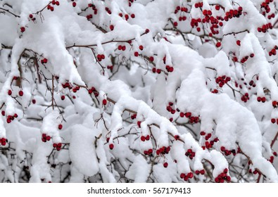 Winter background with red rose hips covered with snow