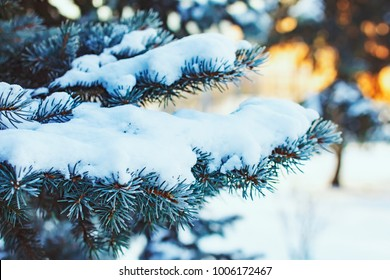 Winter background with snow-covered branches of blue spruce closeup. Winter branches of blue spruce in the hoarfrost.