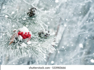Winter background with snow-covered pine branch. Red frozen rowan on  branch of pine.