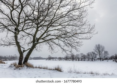 winter bare tree by the river in white snow