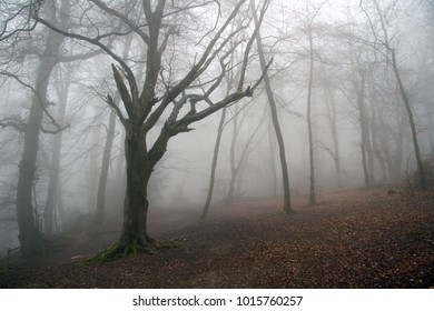 Winter beech trees on a mist covered morning
