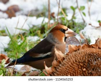 winter beginn,hawfinch in wintertime