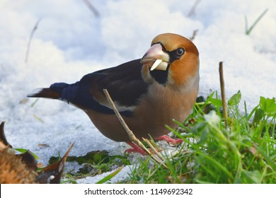 winter beginn,hawfinch in wintertime