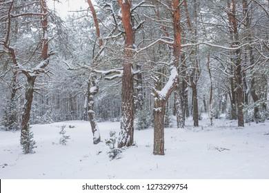 Winter in Belovezhskaya Pushcha. Belarus.