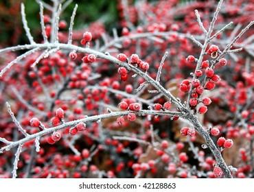 Winter berries, Germany