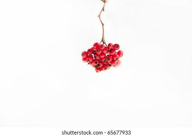 Winter berries on white background