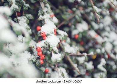 winter berries with snow on bush