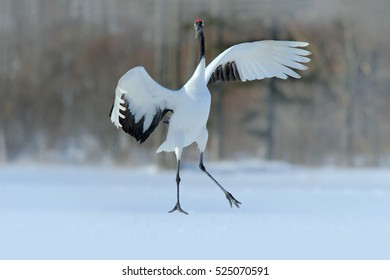 Winter with big white black crane. Wildlife scene from snowy nature. Red-crowned crane, Grus japonensis, flying white bird with open wings, Hokkaido, Japan.