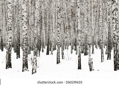 Winter birch forest background