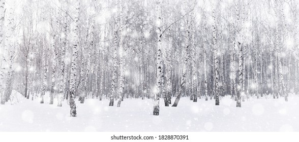 Winter birch grove. Snow is falling in the forest. Snow covered trees. Frosty, cold weather. Panoramic image.
