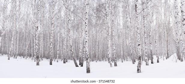 Winter birch grove ,snow at sunset