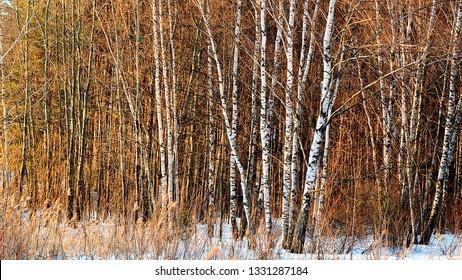Winter birch trees forest background