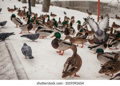Winter birds and ducks