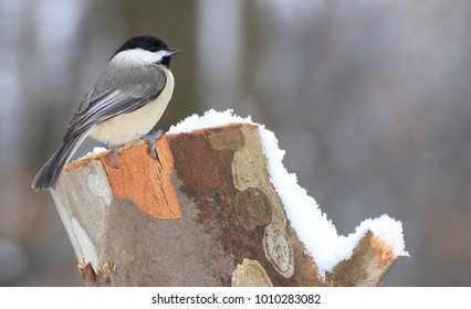 A winter Black- capped Chickadee on a snowy sycamore stump.