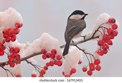 A winter Black- capped Chickadee (Poecile atricapillus) on a snowy hawthorn branch full of bright red berries.