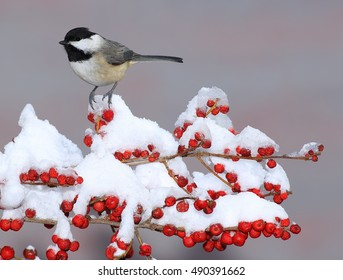 A winter Black- capped Chickadee (Poecile atricapillus) at snowy red ilex berries.