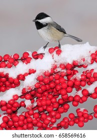 A winter Black- capped Chickadee (Poecile atricapillus) at snowy red berries.