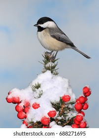 A winter Black- capped Chickadee (Poecile atricapillus) on a snowy spruce bough laden with bright red berries.