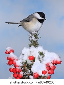 A winter Black- capped chickadee (Poecile atricapillus) on a festive spruce bough laden with bright red berries.