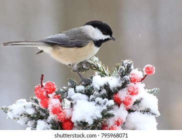 A winter Black- capped chickadee (Poecile atricapillus) on a festive juniper branch.
